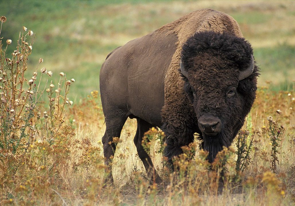 American bison (<em>bison bison</em>). Photo credit: Jack Dykinga/U.S. Department of Agriculture