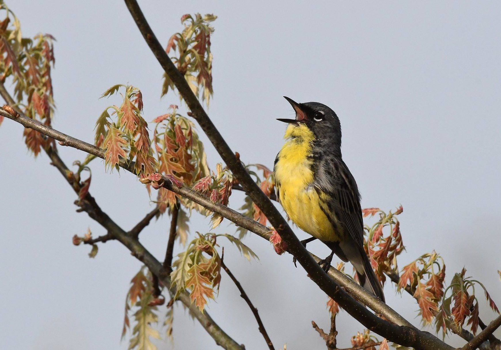 The Kirtland's Warbler. Photo credit: Jim Hudgins/USFWS
