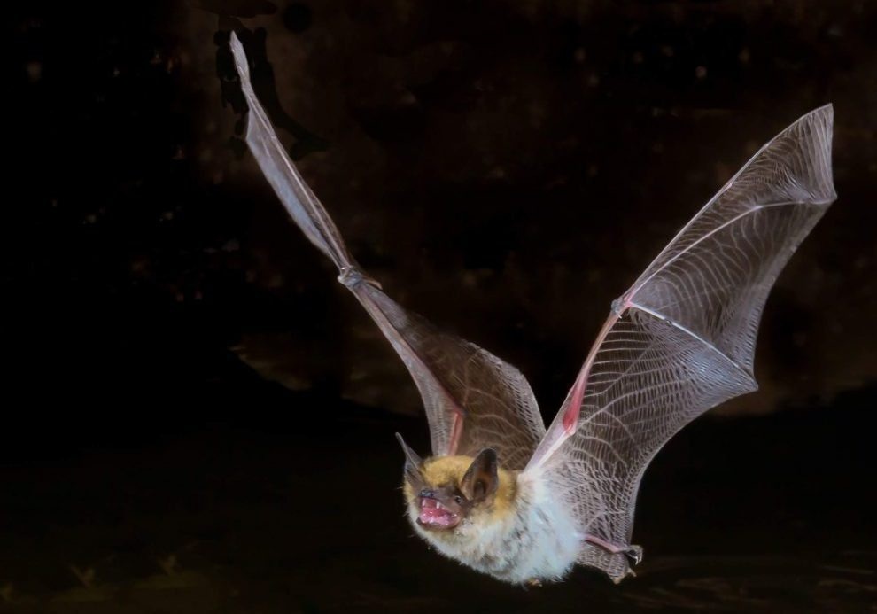 Bats are highly resistant to disease, and can be vectors for rabies, Ebola, Marburg, and several types of coronavirus. But did the coronavirus behind COVID-19 originate in bats? And if so, how did it jump to humans? (Photo source: Handout)