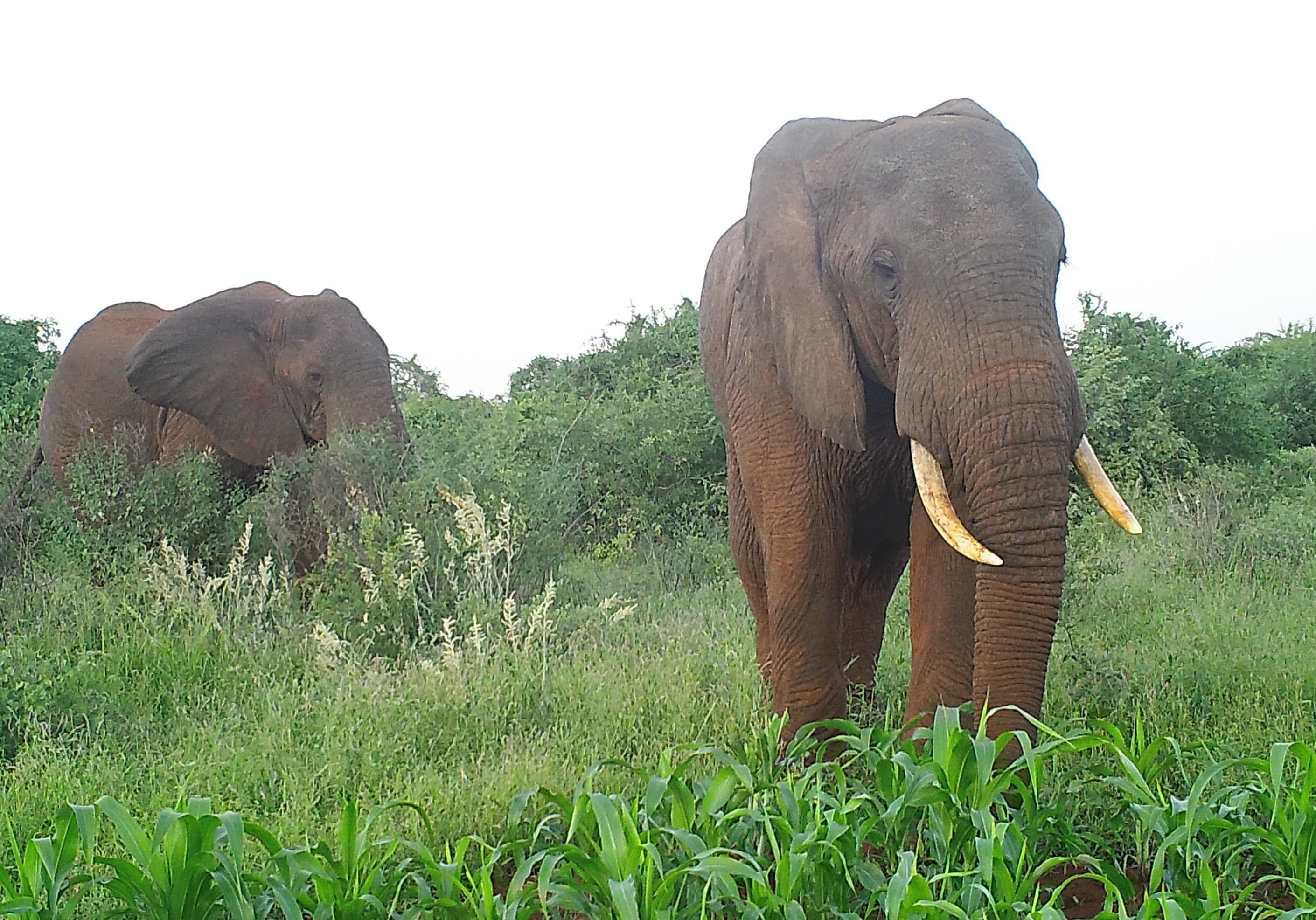 Elephants raiding crops in Kenya. Source: elephantsandbees.com.