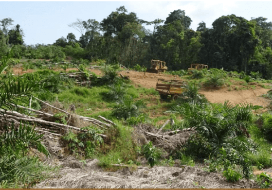 GVL clearing and planting in HCS patch of low-density forest in the Nitrian area in Liberia. Photo: Milieudefensie
