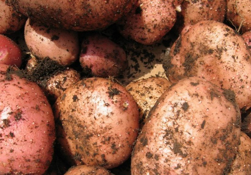 Freshly harvested Idaho potatoes. (Photo source: Handout)