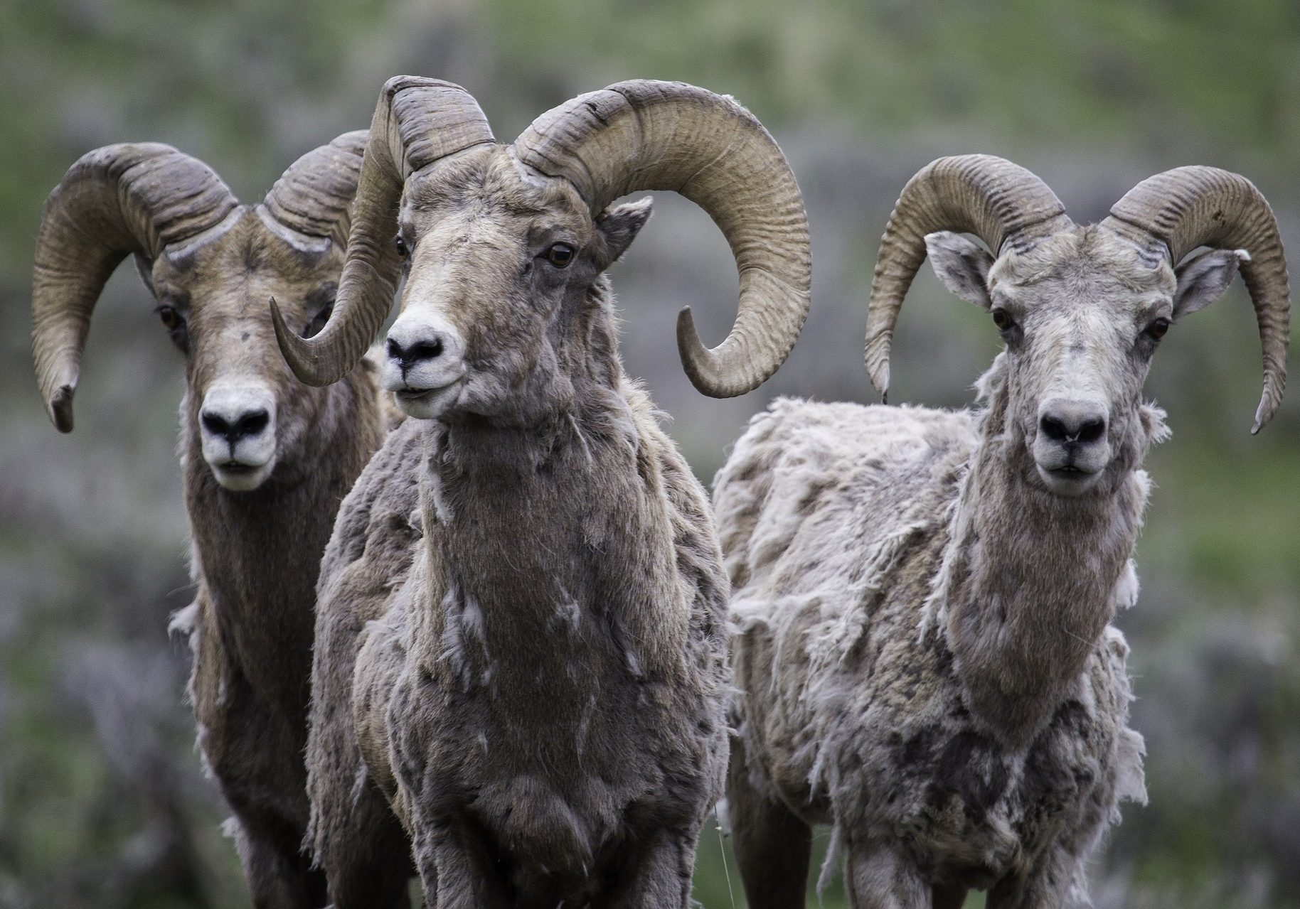 Bighorn sheep rams. (Photo credit: Skeeze/Pixabay Creative Commons)