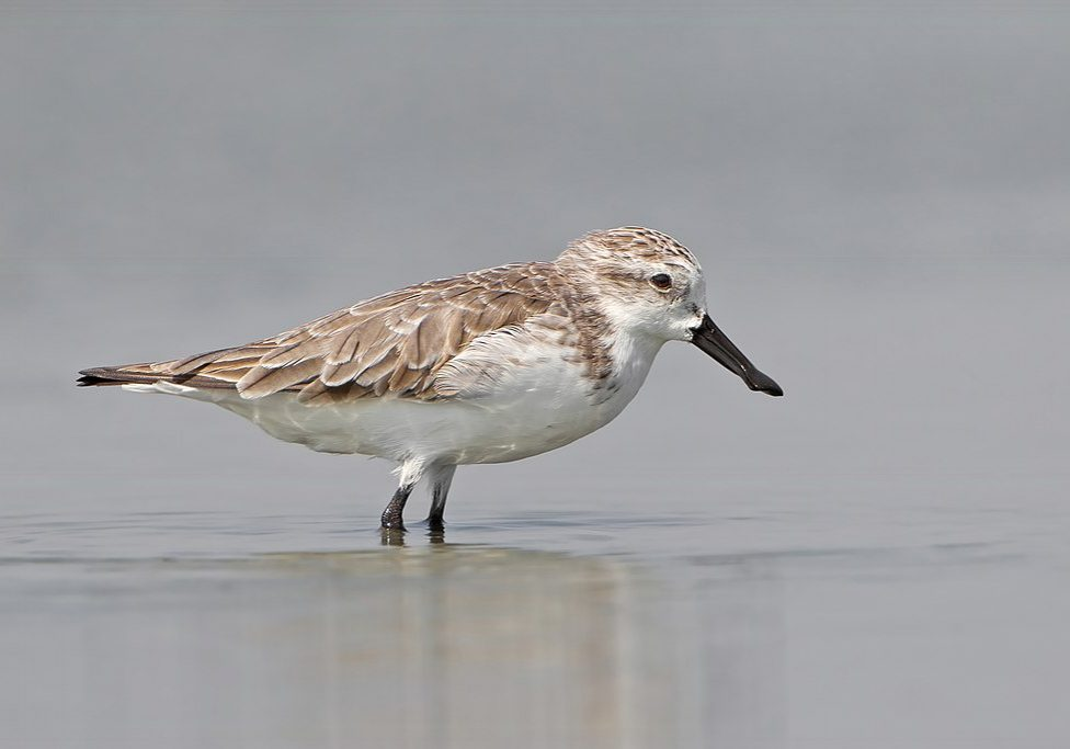"A spoon-billed sandpiper  in the Pak Thale salt pan in Thailand. (Photo credit: <a href=""https://www.jjharrison.com.au/"" target=""_BLANK"" rel=""noopener noreferrer"">JJ Harrison</a>/Wikimedia Commons)"